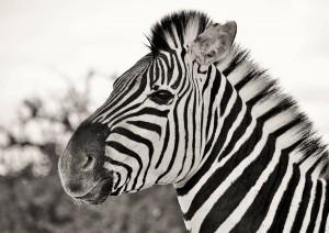 Zebrastreifen sind so einzigartig wie der Fingerabdruck des Menschen