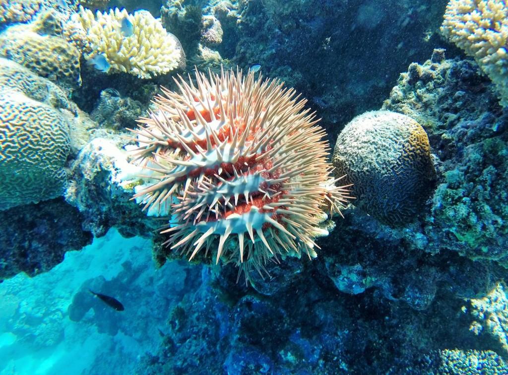 Gefürchteter Parasit zerstört Korallenfelder in Grösse eines Tennisplatzes innerhalb einer Woche...