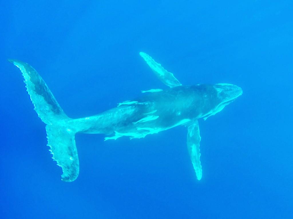 Buckelwale können bis zu 15m lang werden