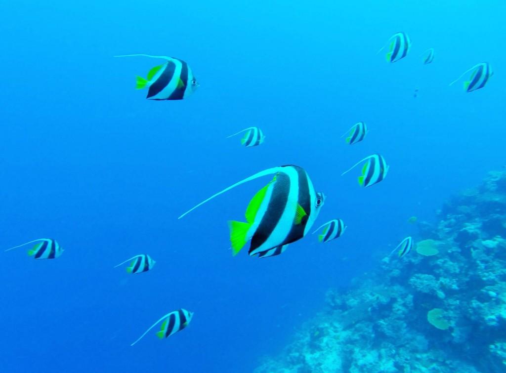 Halterfische