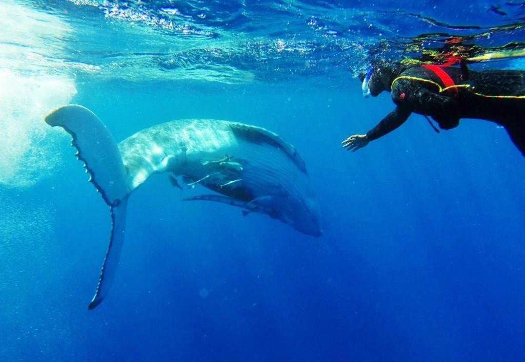In Tonga kann man mit Buckelwalen schwimmen gehen