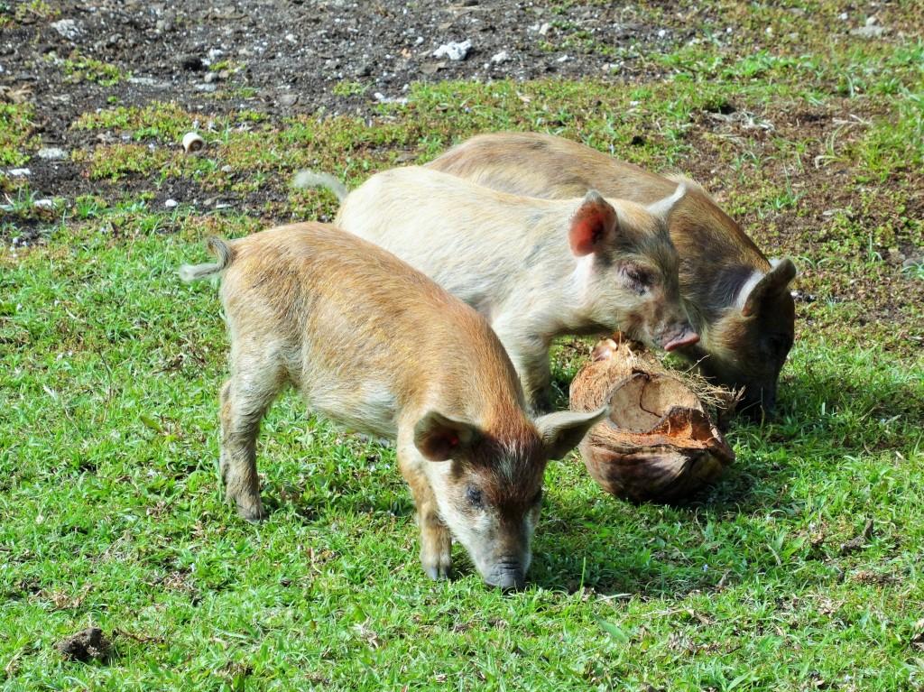 Schweine sind anscheinend die Lieblingstiere der Toganer... überall sind diese Tierchen zu finden