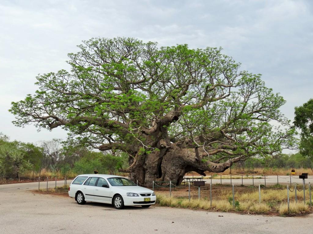 Die riesigen Boab-Trees