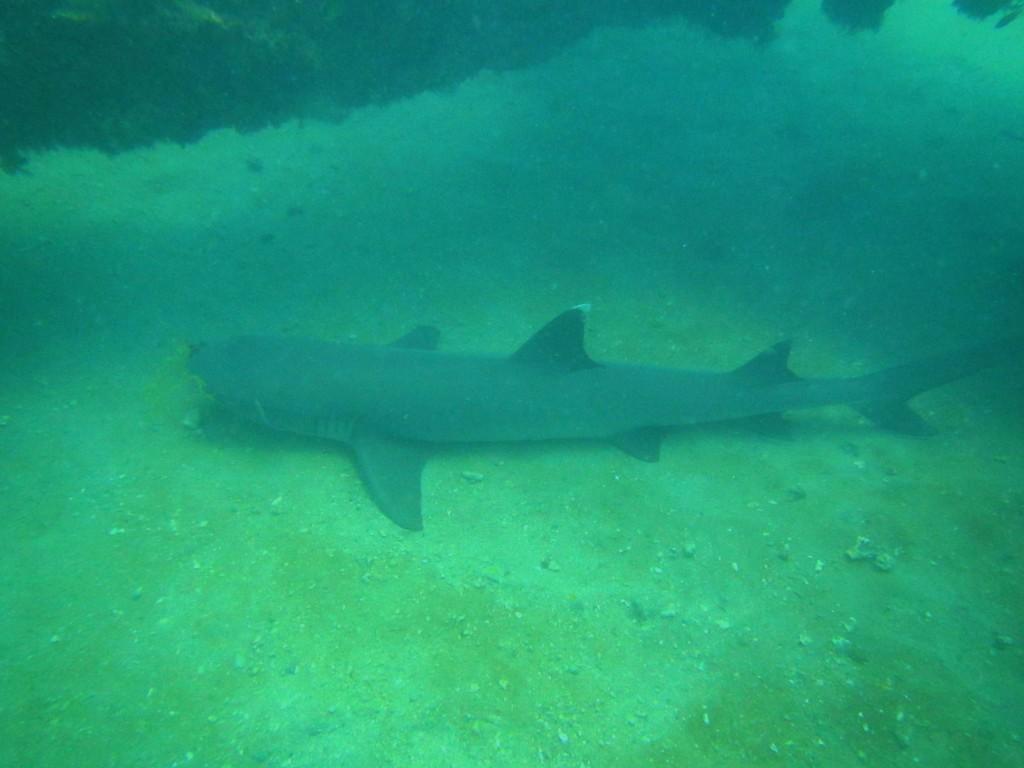 ... und auch von Riffhaien wird der Taucher gerne begleitet...