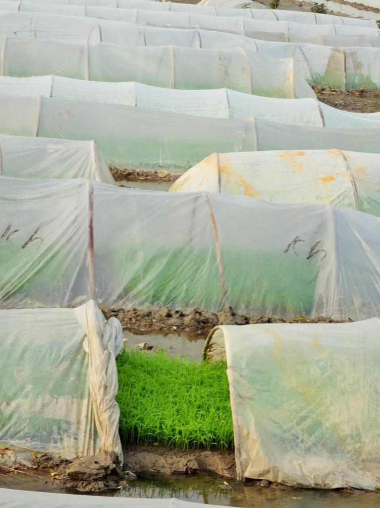 Die Schösslinge werden ein bis zwei Monate lang in Saatfeldern gezogen...