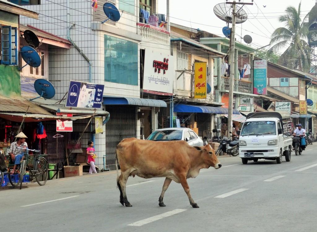 Nein, heilig sind die Kühe hier in Sittwe nicht - aber man findet sie trotzdem überall