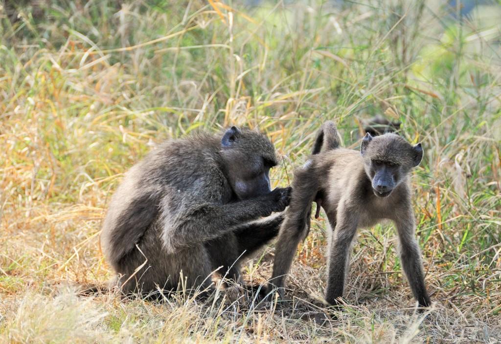 Baboons beim Lausen