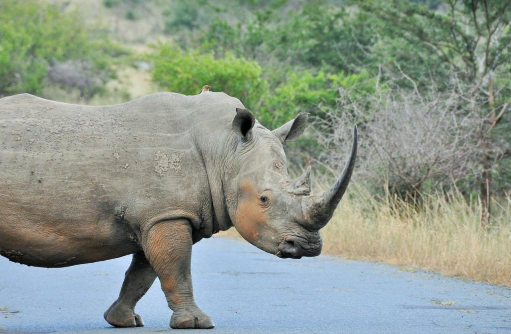 Bis zu 160 cm kann ein Horn des Nashorns lang sein.