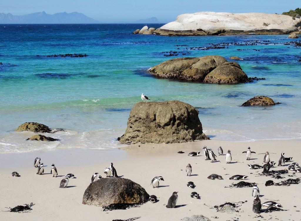 Boulders Beach wird von Pinguinen bewohnt