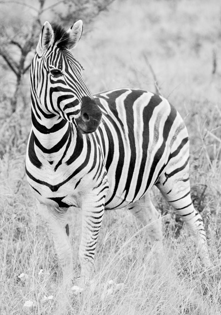 Das Strefenmuster des Zebras verwirrt die Feinde...