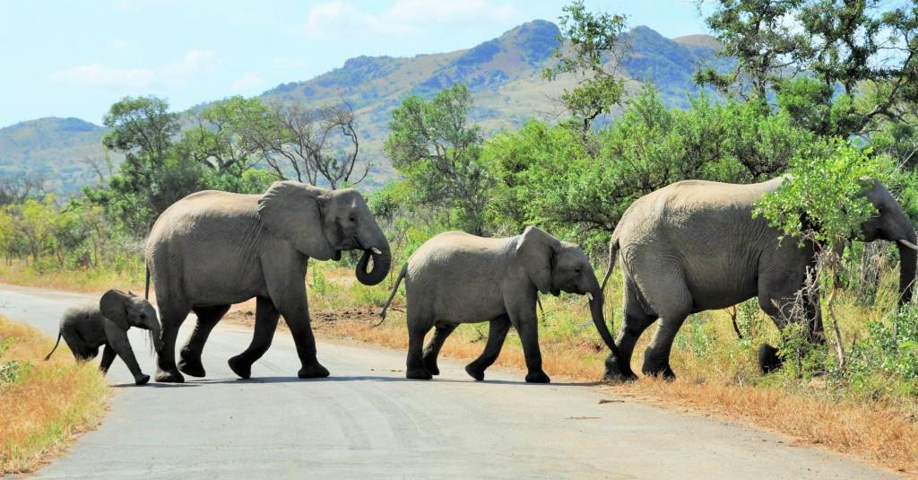 Die Sprache der Elefanten beschränkt sich nicht auf das Trompeten. Vermutlich kommunizieren sie auch durch tiefes Brummen, das sich über den Boden überträgt.