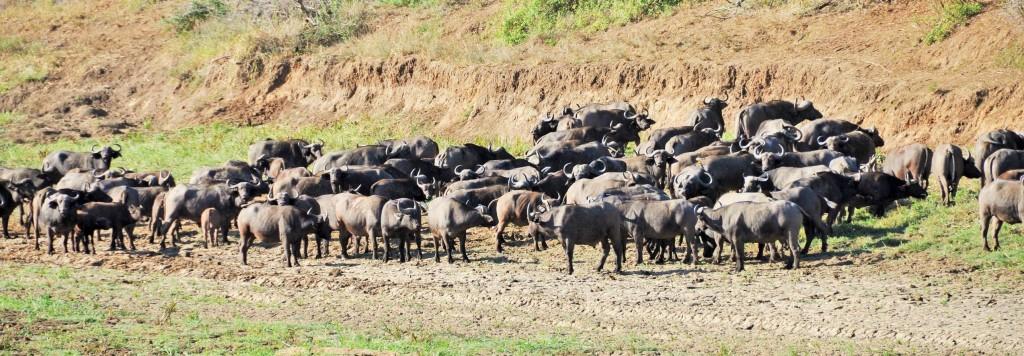Eine Büffelherde zählt manchmal bis zu 500 Tiere
