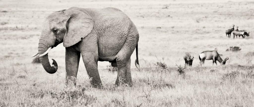 Elefanten sind länger trächtig als jedes andere Säugetier - 22 Monate!