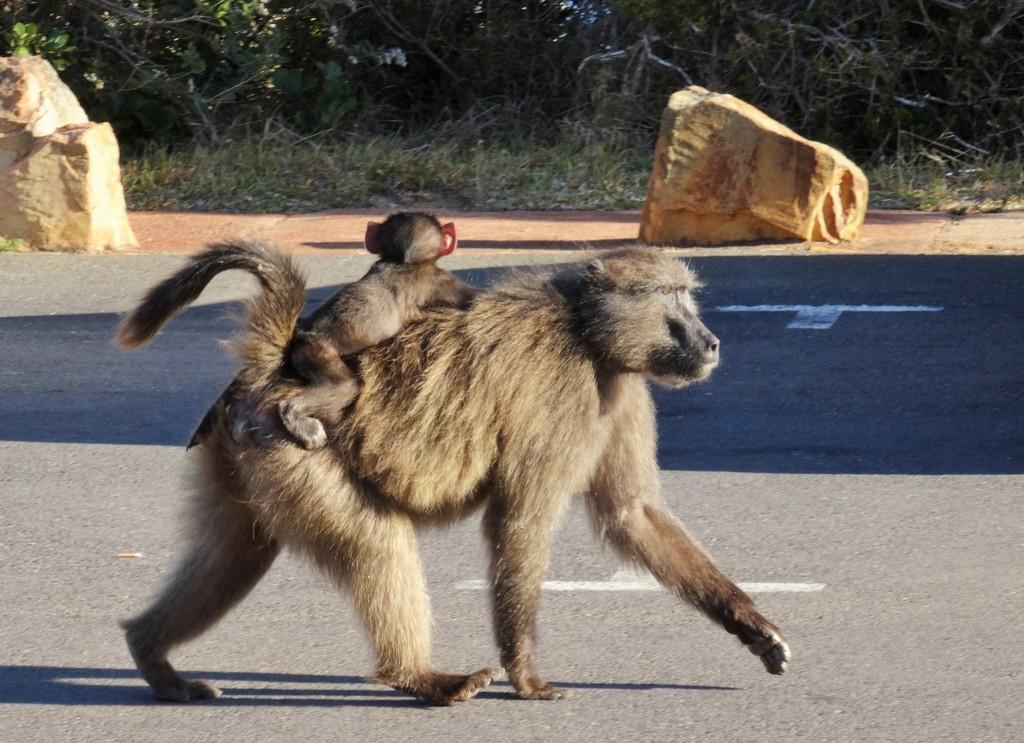 Freche Baboons (Paviane) auf der Suche nach Essbarem