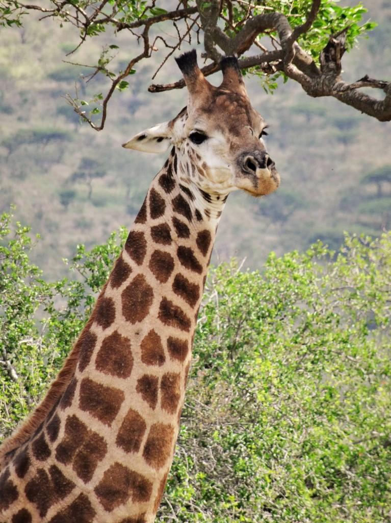 Giraffen essen täglich ca. 30 Kilogramm Blätter, Knospen und Gräser...