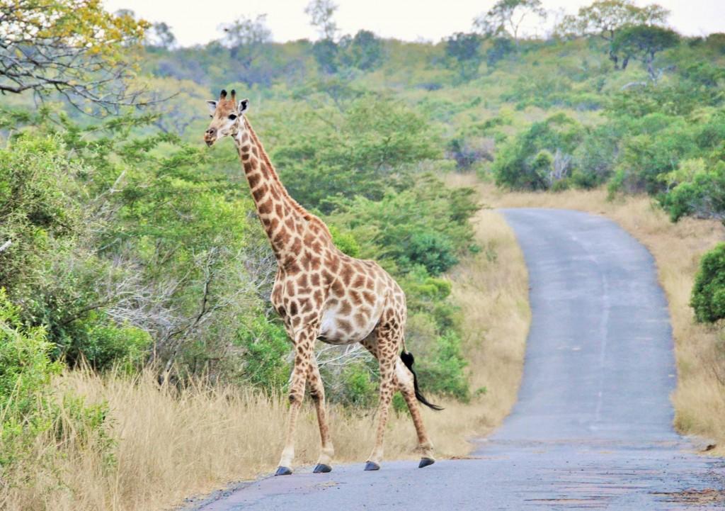 Giraffen können bis zu 6 Meter gross werden und sind damit die grössten Landsäugetiere der Welt.