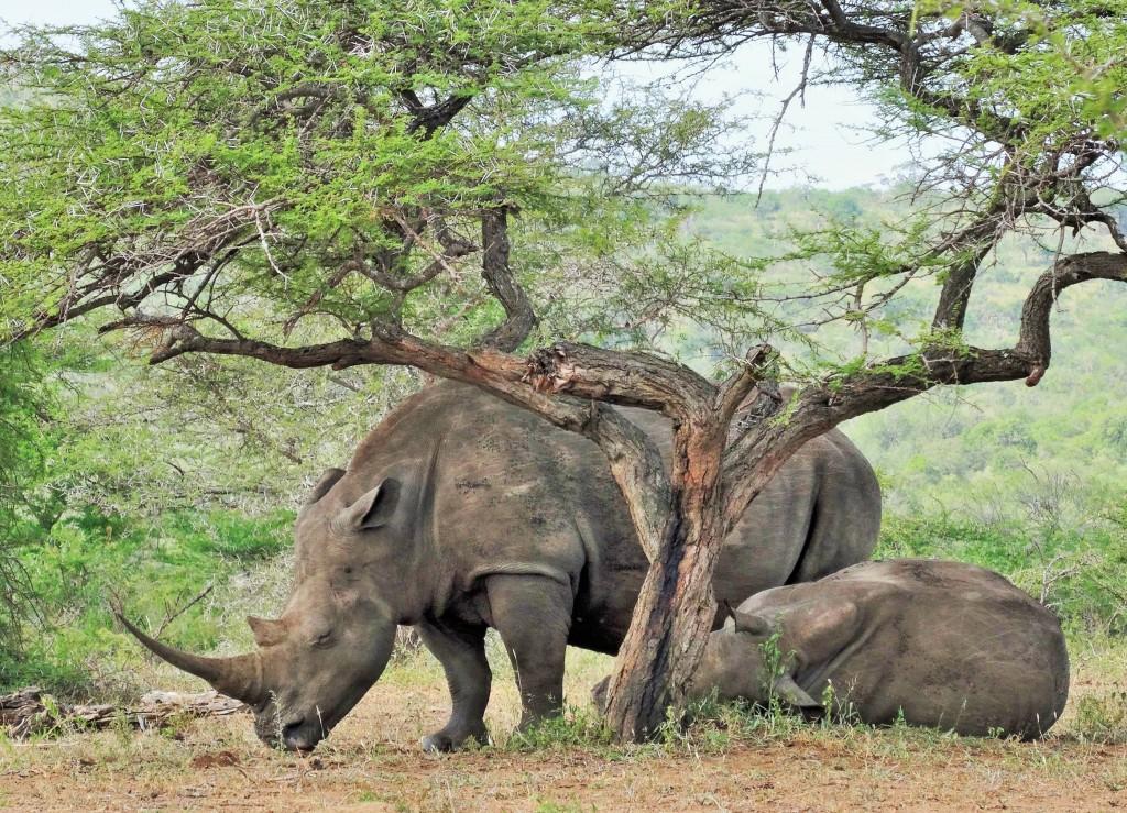 Laut WWF werden in Südafrika jeden Tag ca. 2 Nashörner wegen ihres Horns getötet