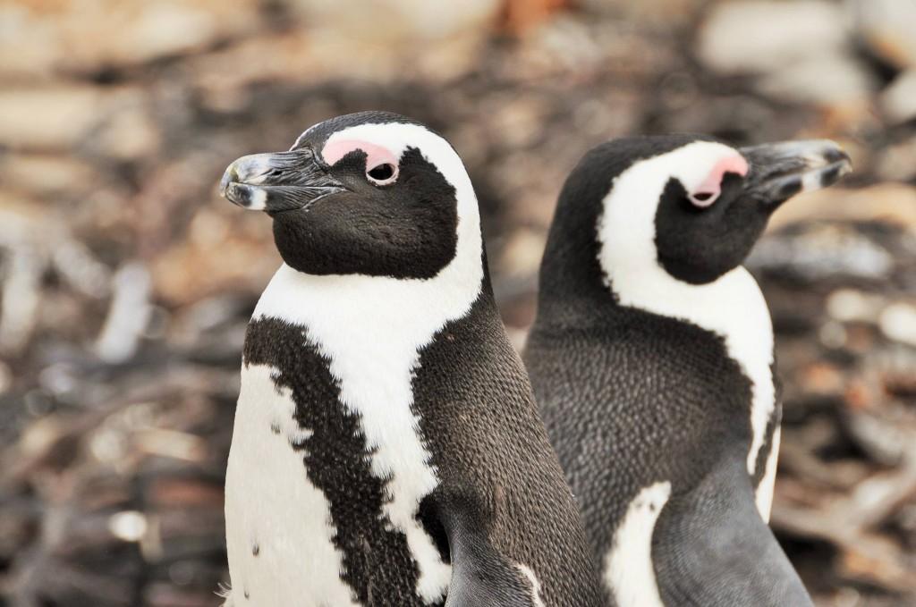 Süsses Pinguinpärchen
