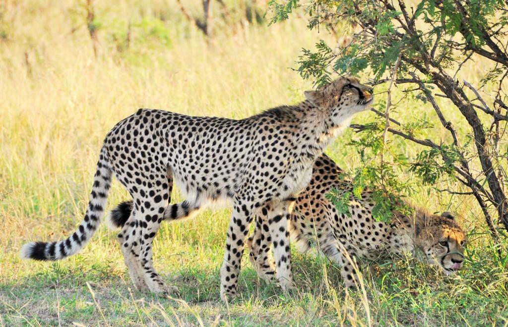 Bei den Geparden gehen Weibchen oft alleine auf Jagd. Männchen hingegen jagen meistens mit ihren Brüdern.