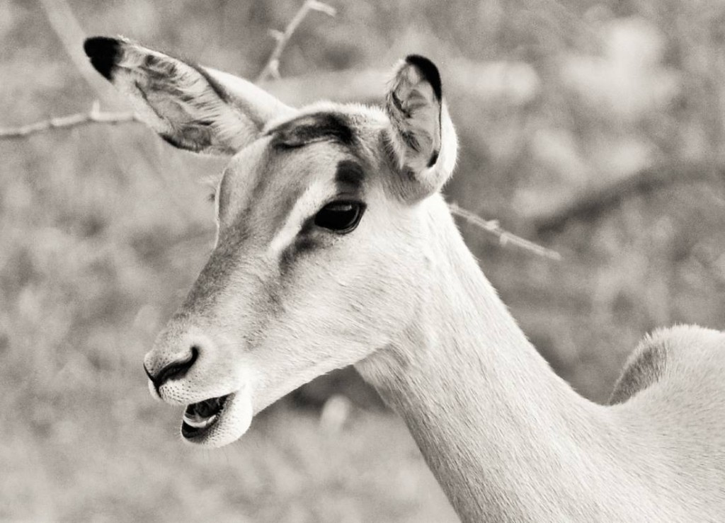 Black and White Impala