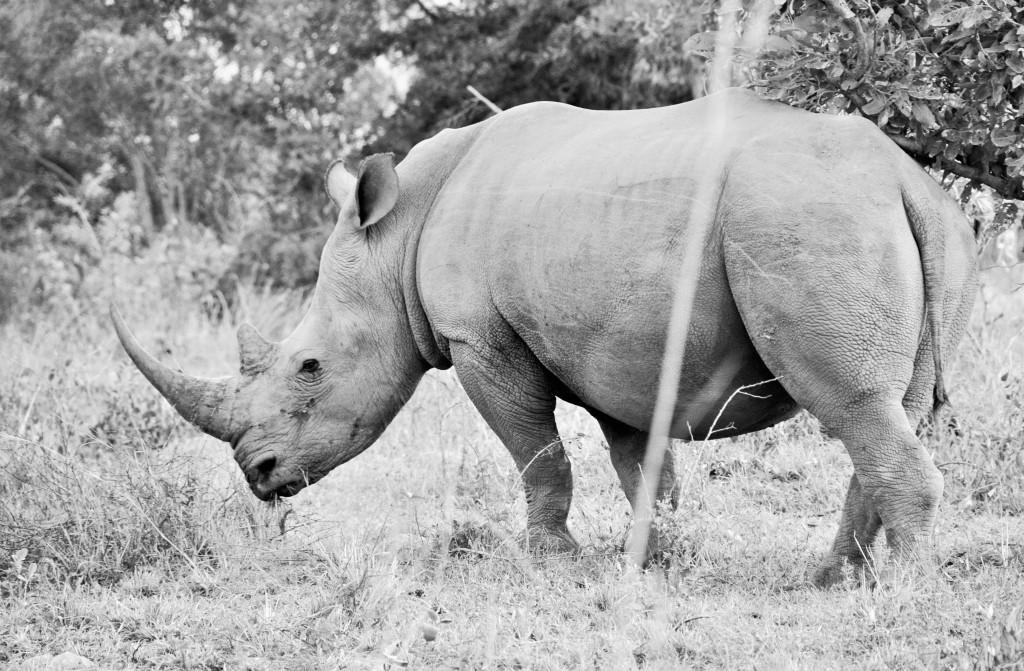 Da das Horn des Nashorns in Asien mehr wert als Gold hat, wurden in Südafrika letztes Jahr mehr als 1200 Tiere von Wilderern getötet.