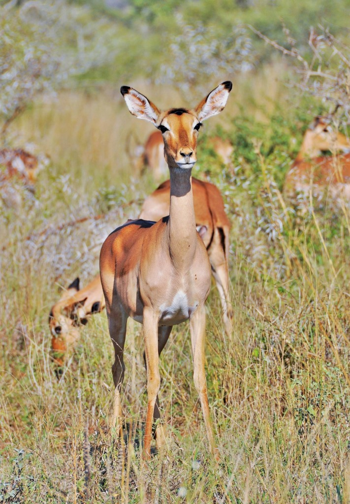 Das mit Abstand häufigste grössere Wildtier des Parks ist die Impala.