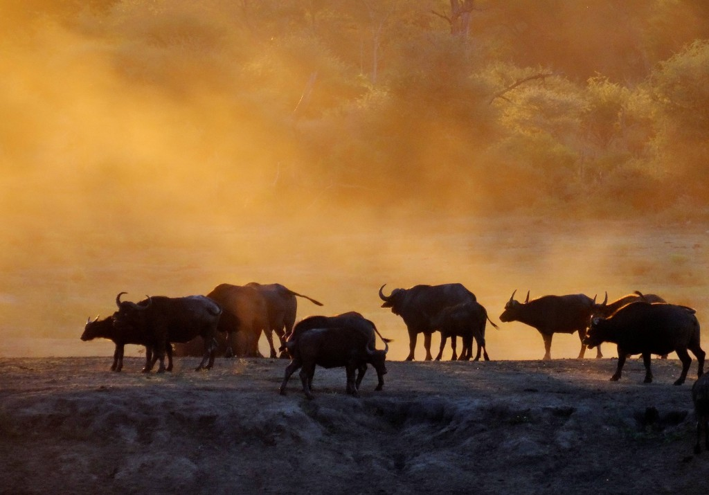 Der Büffel ist sehr gesellig und tritt in der Regel in grossen Herden auf.