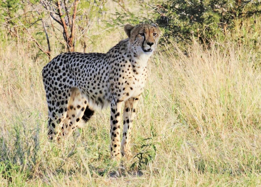 Der Gepard ist das schnellste Landtier der Erde. Seine Geschwindigkeit bei der Jagd beträgt bis zu 110 km pro Stunde.
