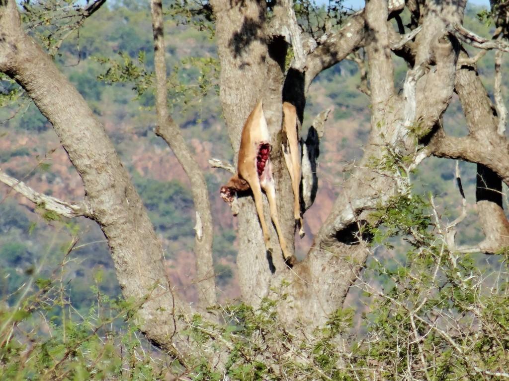Der Leopard ist der beste Kletterer. Sogar seine Beute nimmt er mit auf den Baum, um sie vor anderen Räubern in Sicherheit zu bringen.