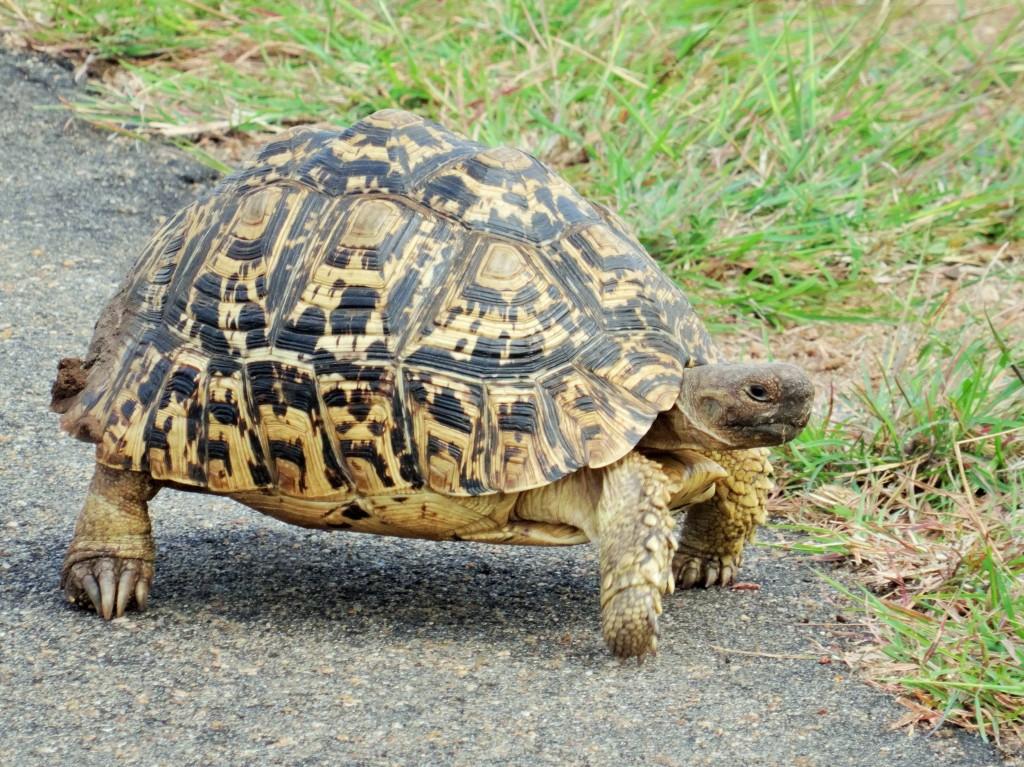 Die Leoparden - Schildkröte gehört zu den Small Five.