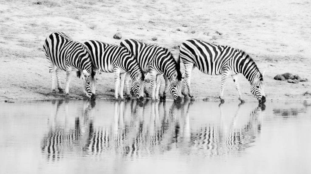 Die Zebras haben durch ihre Streifen eine perfekte Tarnung, da die Raubtiere ein einzelnes Tier in der Herde nicht so leicht ausmachen können.