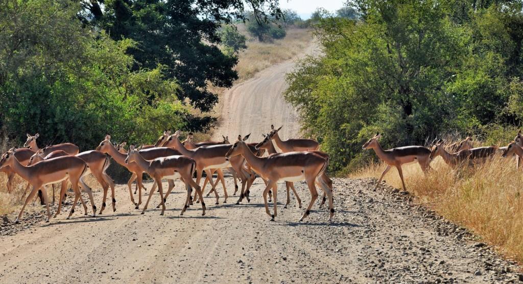 Die mit Abstand häufigsten grösseren Wildtiere des Parks sind die Impalas.