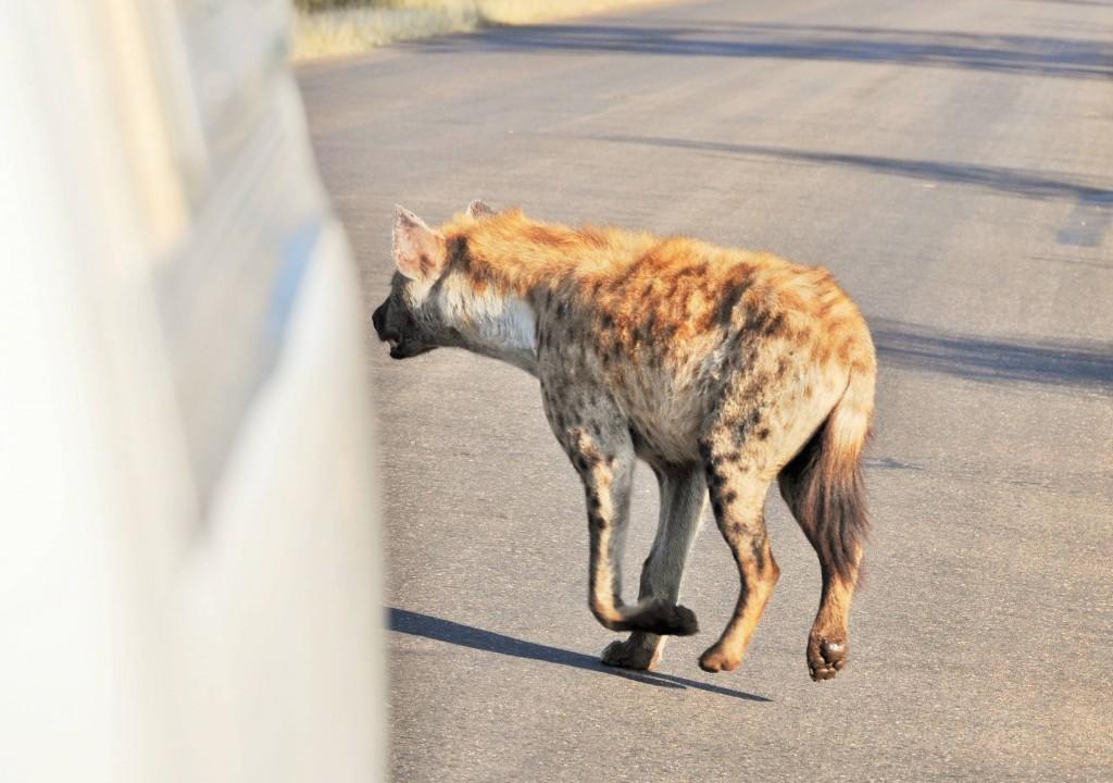 Eine Hyäne!