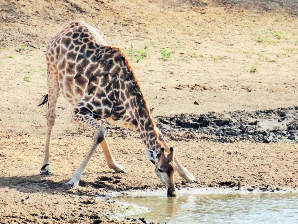 Es ist lustig, Giraffen beim trinken zuzusehen.