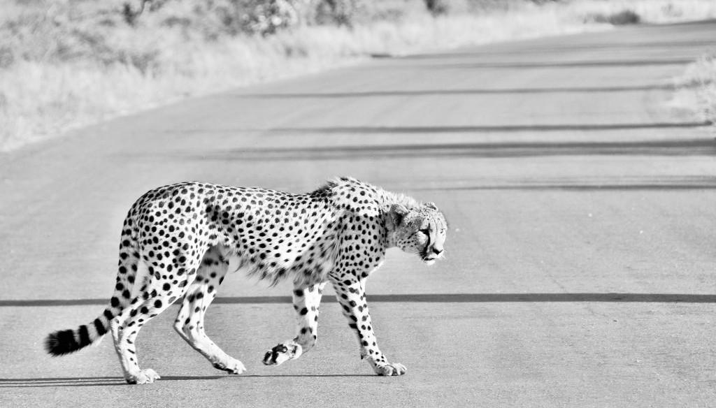 Gemütlicher Spaziergang eines Geparden
