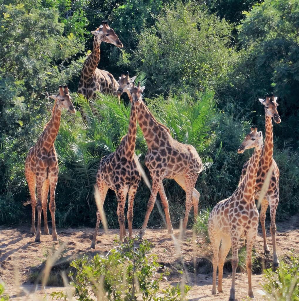 Giraffen sind gesellige Tiere und kommen immer wieder zu kleinen Gruppen zusammen.