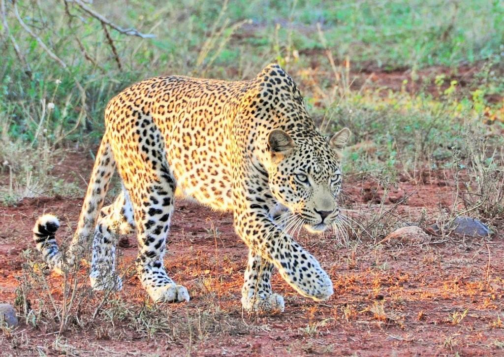 Hier kommt das schönste und am besten getarnte Tier Afrikas - der Leopard!