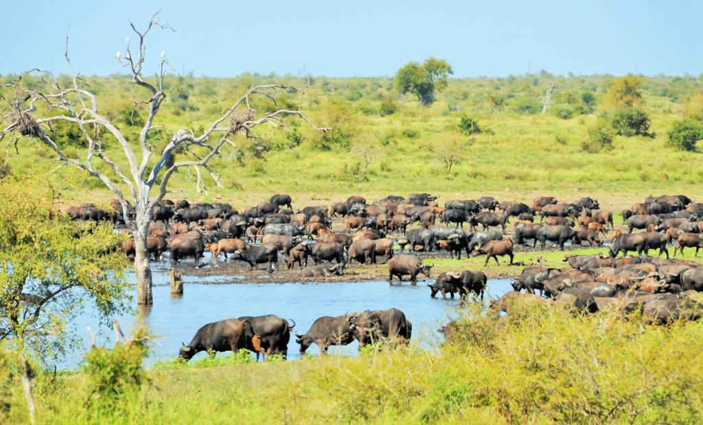Im Krüger Nationalspark gibt es über 27000 Büffel.