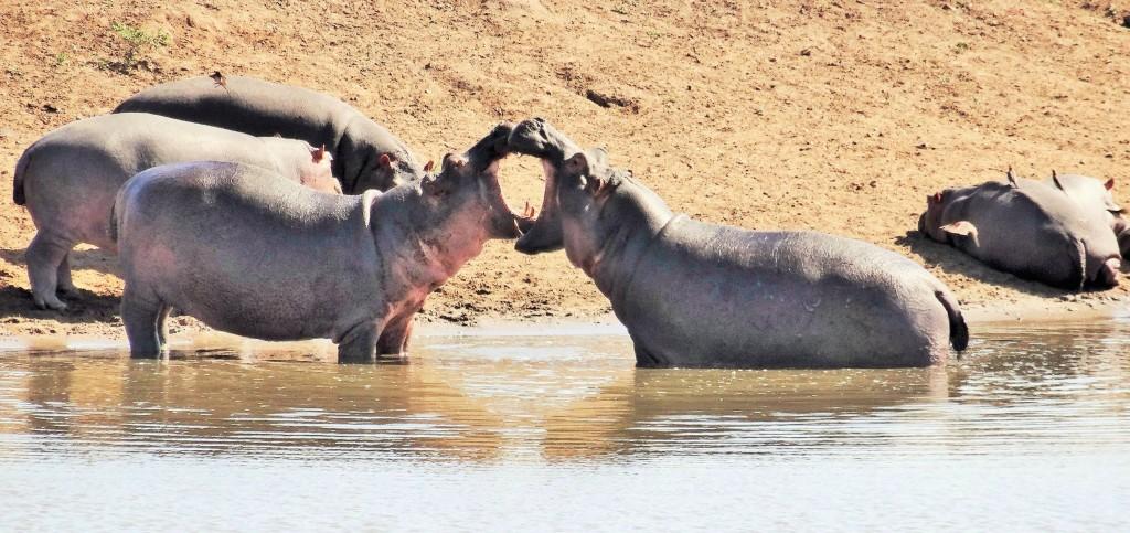 Jährlich sterben mehr Menschen wegen Nilpferden als wegen Krokodilen oder Raubkatzen.
