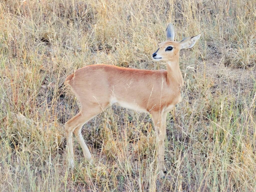 Kleine Antilope