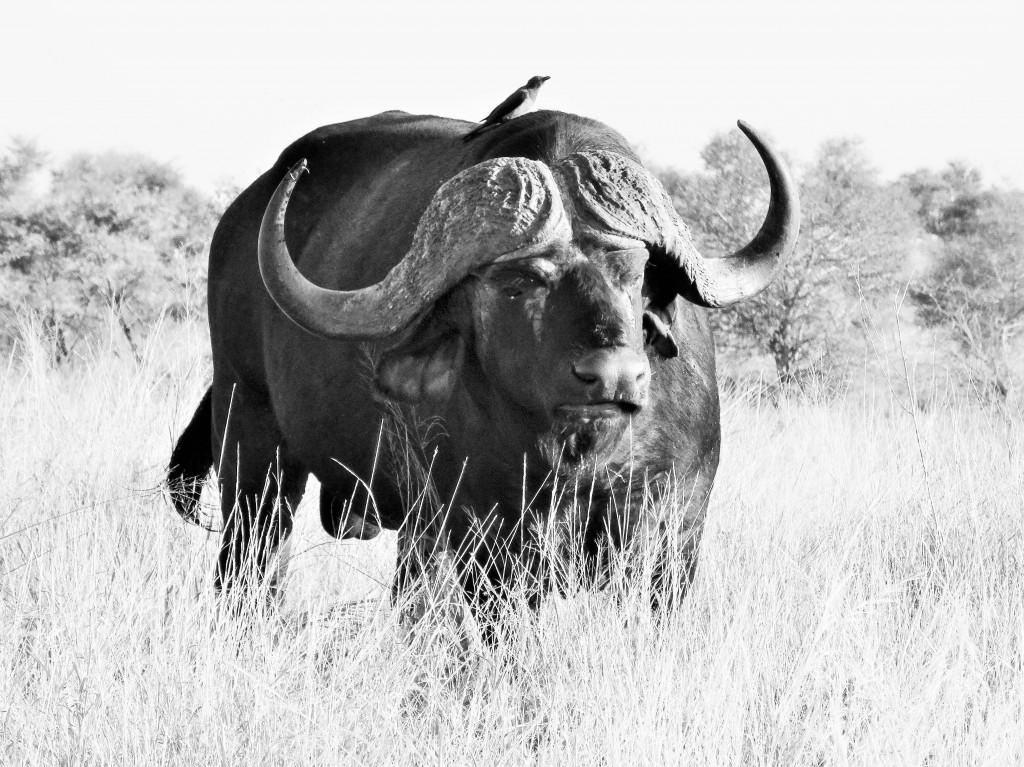 Neben Löwe, Leopard, Nashorn und Elefant, gehört auch der Büffel zu den Big Five.