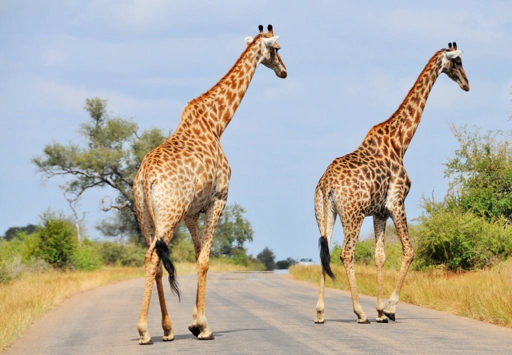 Nur etwa die Hälfte aller jungen Giraffen erreichen das Erwachsenenalter, da sie ein beliebtes Jagdziel von Löwen und Leoparden sind.
