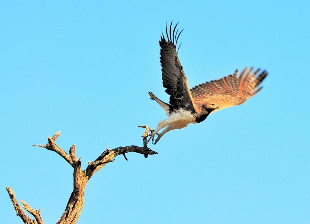 Seltener Adler