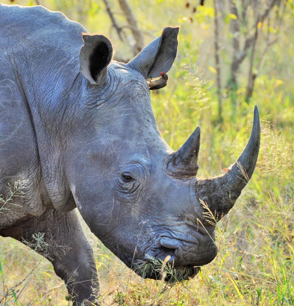 Trotz strenger Kontrollen sorgen Wilderer für grosse Probleme im Krüger-Nationalpark. Sie haben es dabei vor allem auf die Nashörner abgesehen.