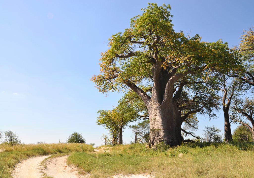 Baoab - Tree
