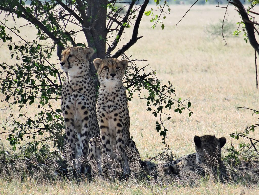 Beautiful Cheetahs
