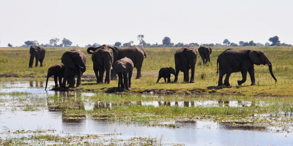 Der Chobe National Park ist voller Elefanten
