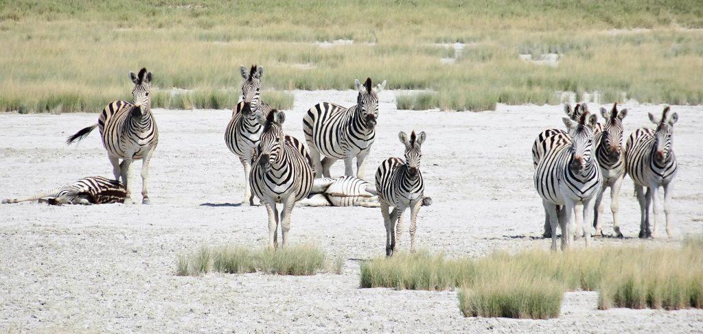 Hier finden jedes Jahr die grossen Zebra - Migrations statt