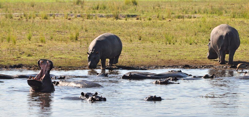Hippos sind die gefährlichsten Tiere Afrikas