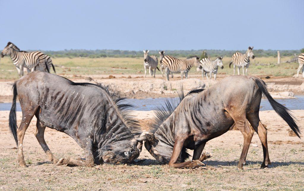 Kampf der wilden Bestien (auf Afrikaans heissen Gnus Wildebeest)
